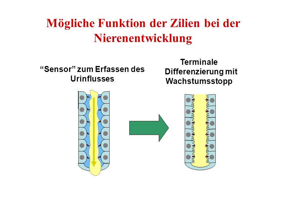 """""""Sensor"""" zum Erfassen des Urinflusses Terminale Differenzierung mit Wachstumsstopp Mögliche Funktion der Zilien bei der Nierenentwicklung"""