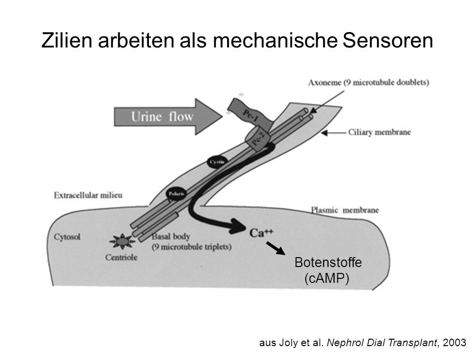Zilien arbeiten als mechanische Sensoren aus Joly et al. Nephrol Dial Transplant, 2003 Botenstoffe(cAMP)