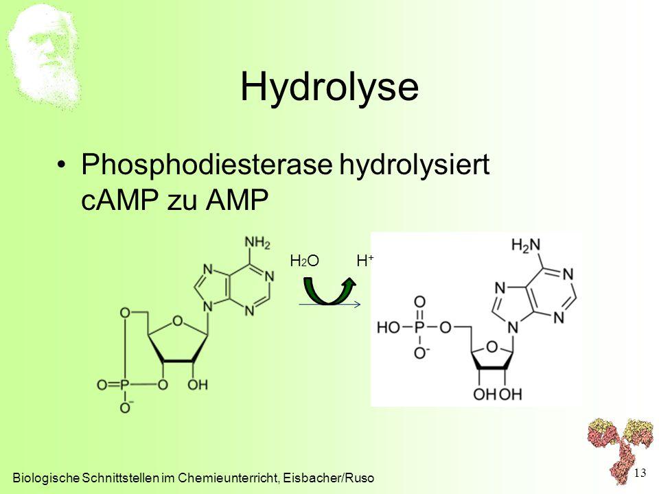 Hydrolyse Biologische Schnittstellen im Chemieunterricht, Eisbacher/Ruso 13 Phosphodiesterase hydrolysiert cAMP zu AMP H 2 O H +