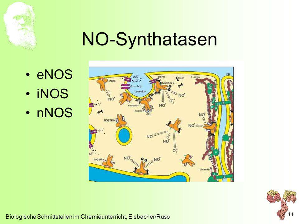 NO-Synthatasen eNOS iNOS nNOS Biologische Schnittstellen im Chemieunterricht, Eisbacher/Ruso 44