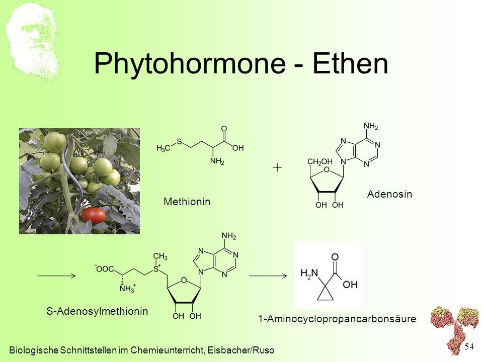Phytohormone - Ethen Biologische Schnittstellen im Chemieunterricht, Eisbacher/Ruso 54 Methionin Adenosin + S-Adenosylmethionin 1-Aminocyclopropancarb