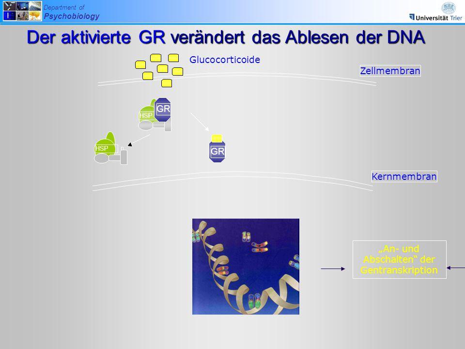 "Department of Psychobiology Glucocorticoide Zellmembran GR HSP GR HSP Kernmembran ""An- und Abschalten der Gentranskription Der aktivierte GR verändert das Ablesen der DNA"