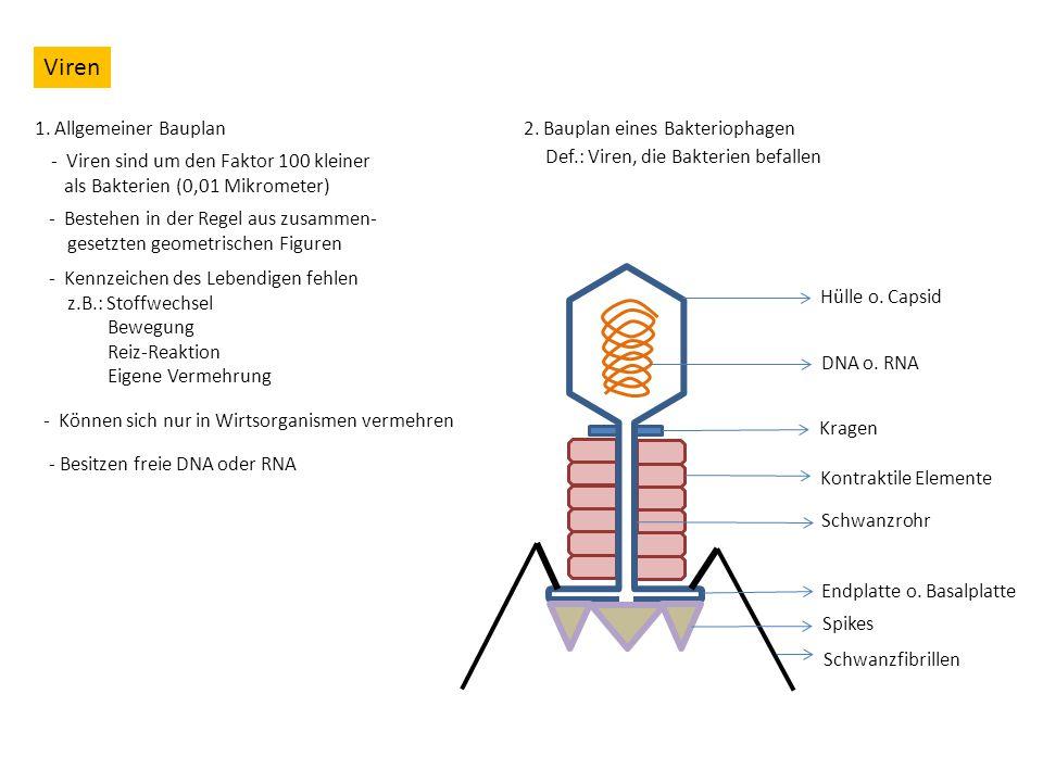 Viren 1. Allgemeiner Bauplan - Viren sind um den Faktor 100 kleiner als Bakterien (0,01 Mikrometer) - Bestehen in der Regel aus zusammen- gesetzten ge