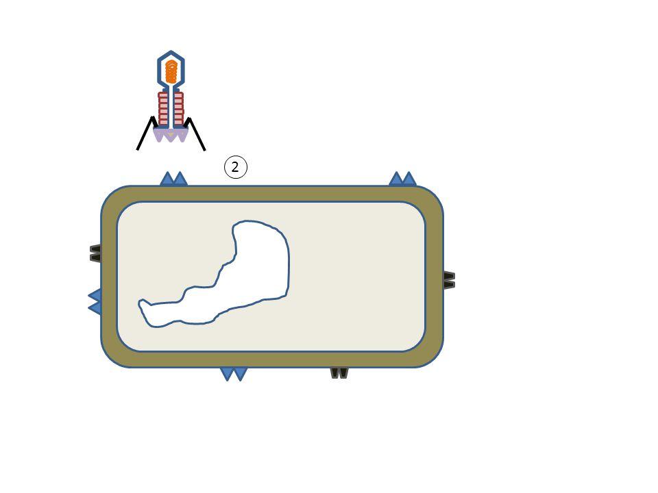 2 Anlagerung Kann sich nur an einen bestimmten Rezeptor anlagern nach Schlüssel-Schloss-Prinzip  wirtspezifisch 2 Bereich der Zellmembran wir durch ein Lysozym, das sich im Bereich der Spikes befindet aufgelöst