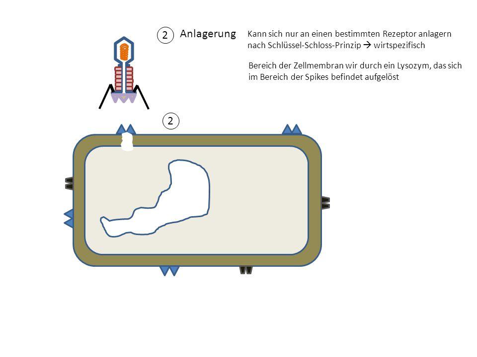 2 Anlagerung Kann sich nur an einen bestimmten Rezeptor anlagern nach Schlüssel-Schloss-Prinzip  wirtspezifisch 2 Bereich der Zellmembran wir durch e