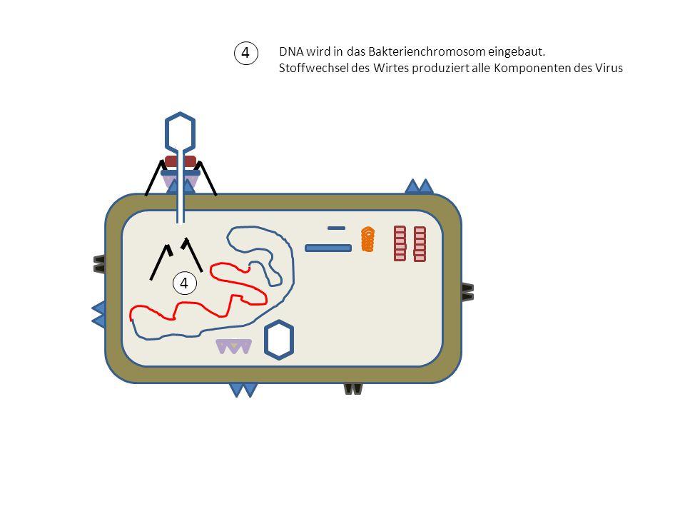 4 4 DNA wird in das Bakterienchromosom eingebaut. Stoffwechsel des Wirtes produziert alle Komponenten des Virus