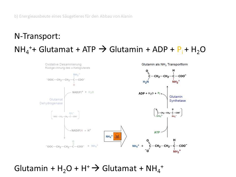 b) Energieausbeute eines Säugetieres für den Abbau von Alanin N-Transport: NH 4 + + Glutamat + ATP  Glutamin + ADP + P i + H 2 O Glutamin + H 2 O + H +  Glutamat + NH 4 +