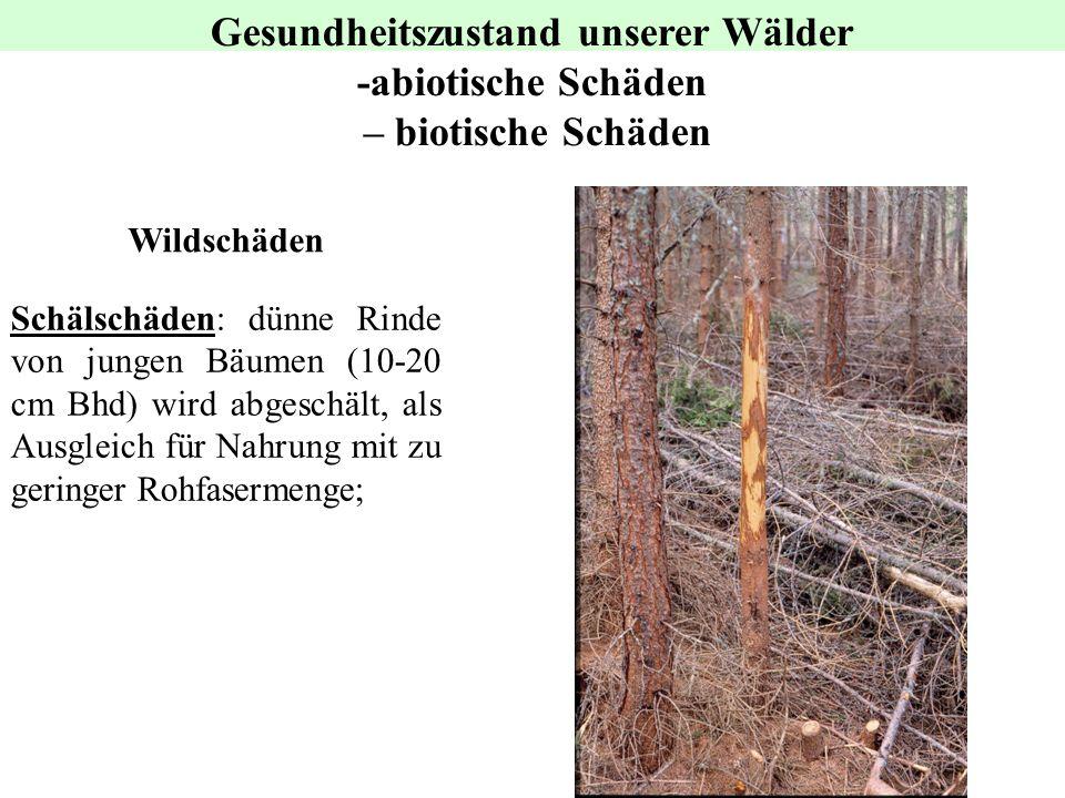 Wildschäden Gesundheitszustand unserer Wälder -abiotische Schäden – biotische Schäden Schälschäden: dünne Rinde von jungen Bäumen (10-20 cm Bhd) wird