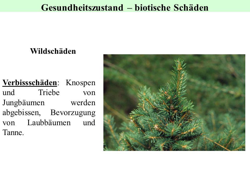 Wildschäden Gesundheitszustand – biotische Schäden Verbissschäden: Knospen und Triebe von Jungbäumen werden abgebissen, Bevorzugung von Laubbäumen und