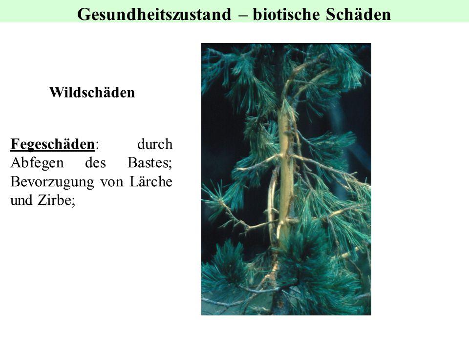 Wildschäden Gesundheitszustand – biotische Schäden Fegeschäden: durch Abfegen des Bastes; Bevorzugung von Lärche und Zirbe;