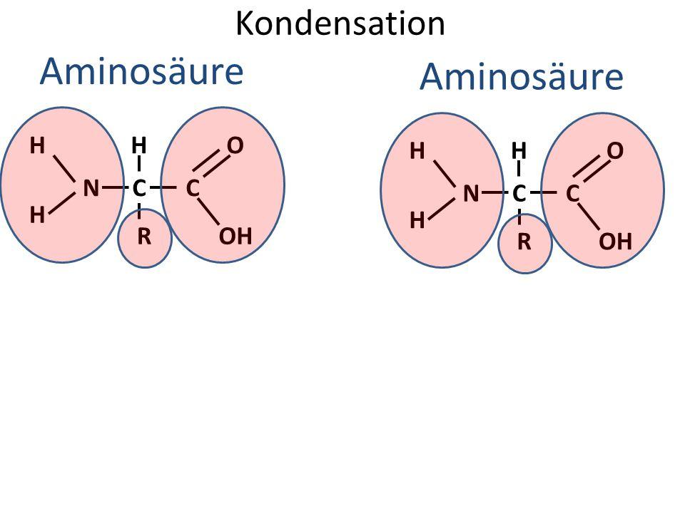 Kondensation Aminosäure H H NC H R C O OH Aminosäure H H NC H R C O OH