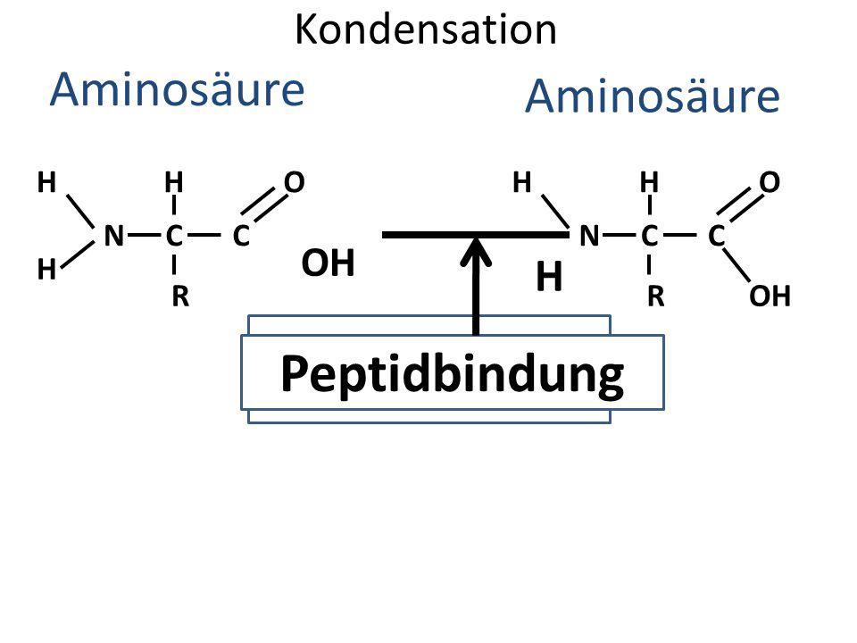 Kondensation Aminosäure H H NC H R C O H NC H R C O OH WASSER Peptidbindung OH H
