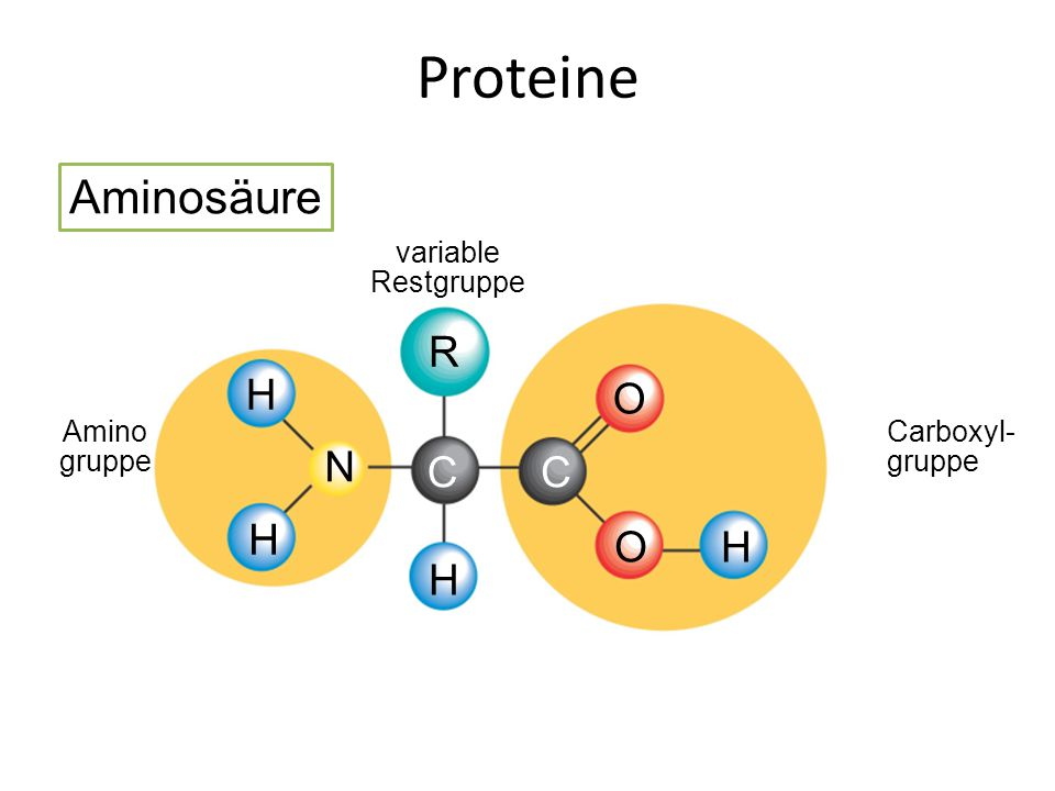 Amino gruppe variable Restgruppe Carboxyl- gruppe O CC O R H H H H N Proteine Aminosäure