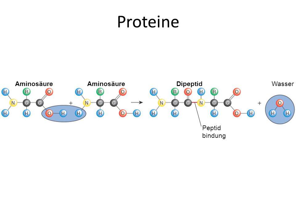 WasserDipeptid Peptid bindung Aminosäure Proteine
