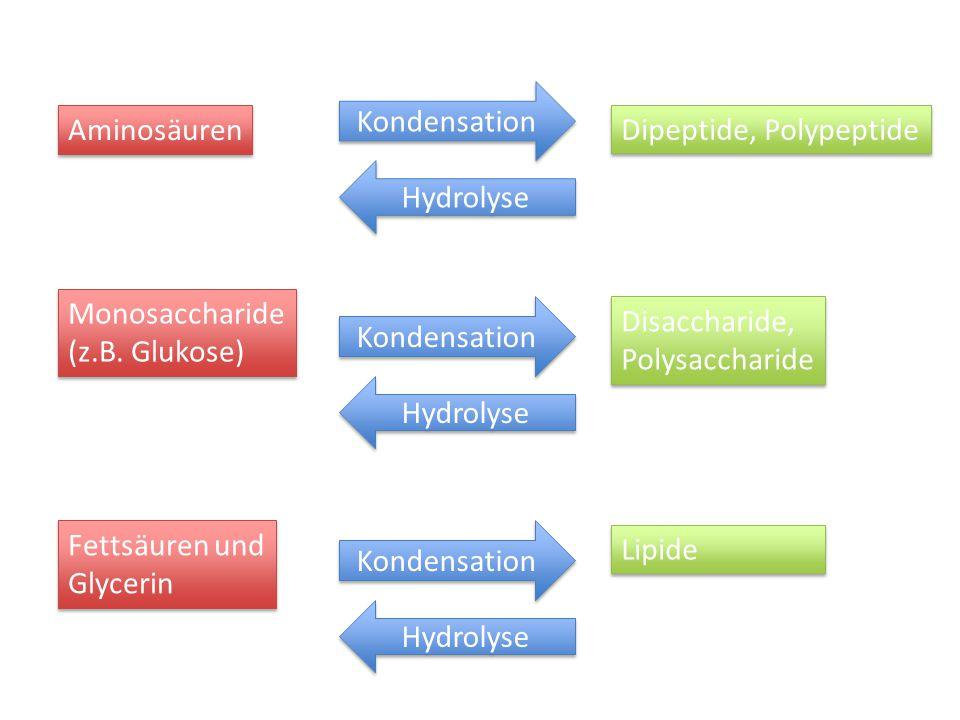 Kondensation Aminosäuren Monosaccharide (z.B. Glukose) Monosaccharide (z.B. Glukose) Fettsäuren und Glycerin Fettsäuren und Glycerin Kondensation Dipe