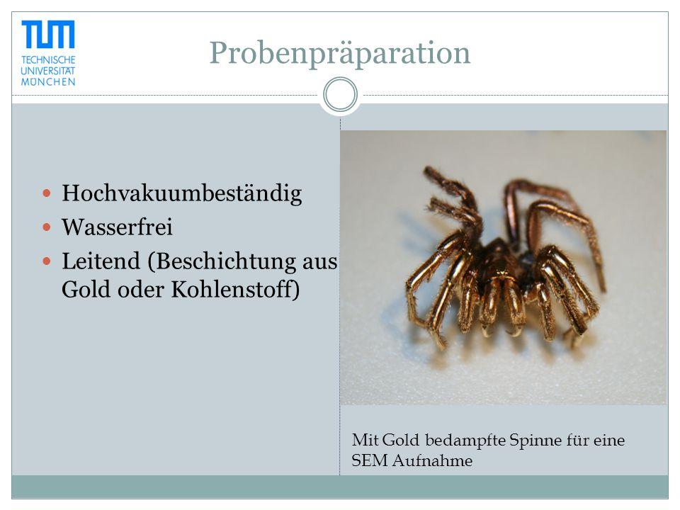 Probenpräparation Hochvakuumbeständig Wasserfrei Leitend (Beschichtung aus Gold oder Kohlenstoff) Mit Gold bedampfte Spinne für eine SEM Aufnahme