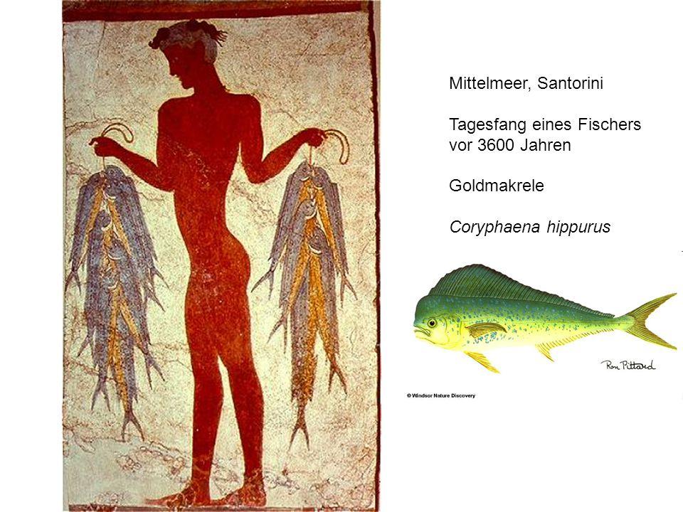 Mittelmeer, Santorini Tagesfang eines Fischers vor 3600 Jahren Goldmakrele Coryphaena hippurus