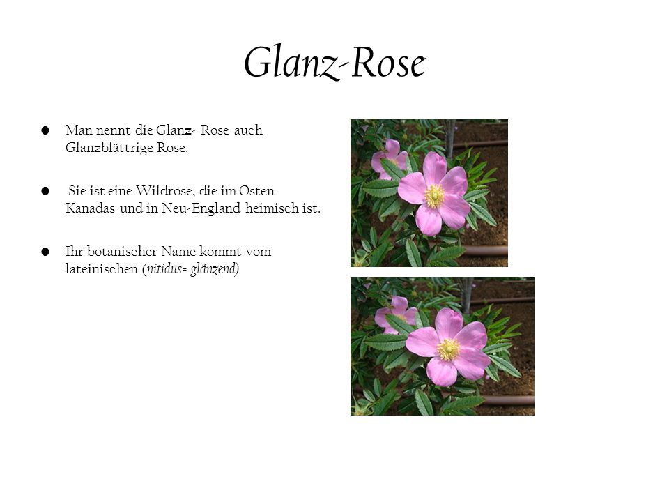 Glanz-Rose Man nennt die Glanz- Rose auch Glanzblättrige Rose.