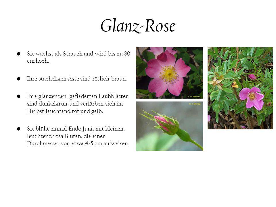 Glanz-Rose Sie wächst als Strauch und wird bis zu 80 cm hoch.