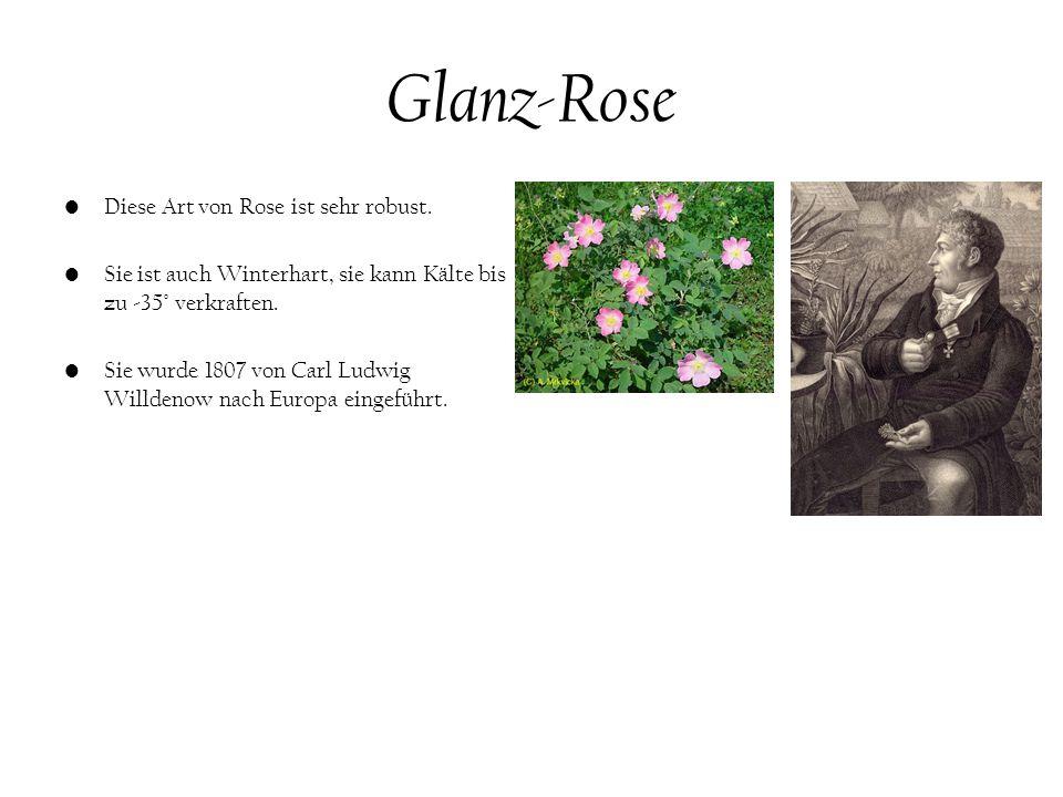 Glanz-Rose Diese Art von Rose ist sehr robust.