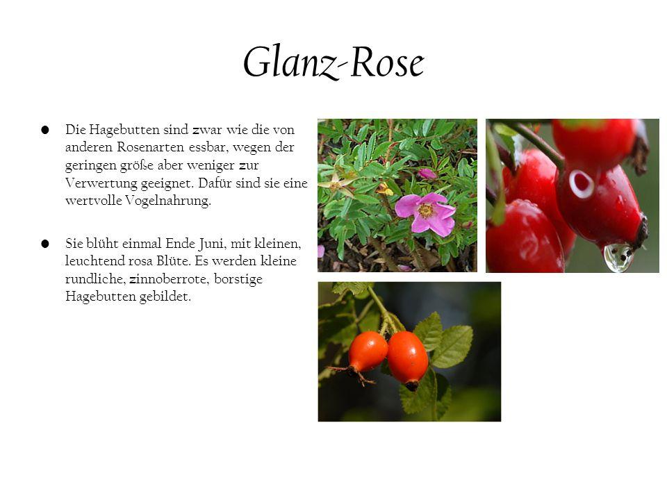 Glanz-Rose Die Hagebutten sind zwar wie die von anderen Rosenarten essbar, wegen der geringen größe aber weniger zur Verwertung geeignet.