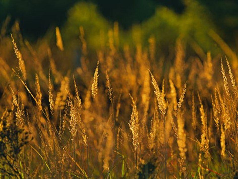 Rügen Am Zickerschen Höft erstrahlen die Gräser im Licht der untergehenden Sonne.