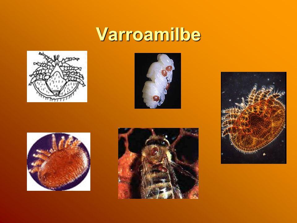 Varroamilbe