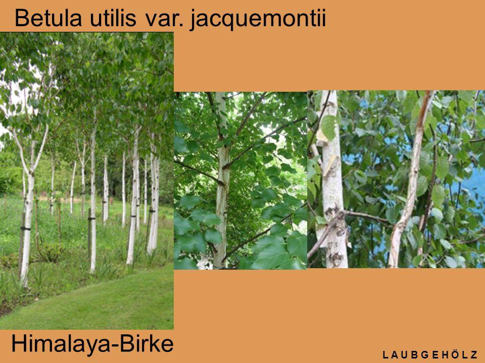 L A U B G E H Ö L Z Betula utilis var. jacquemontii Himalaya-Birke