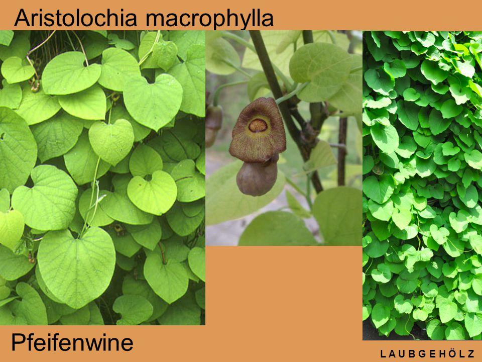 L A U B G E H Ö L Z Aristolochia macrophylla Pfeifenwine