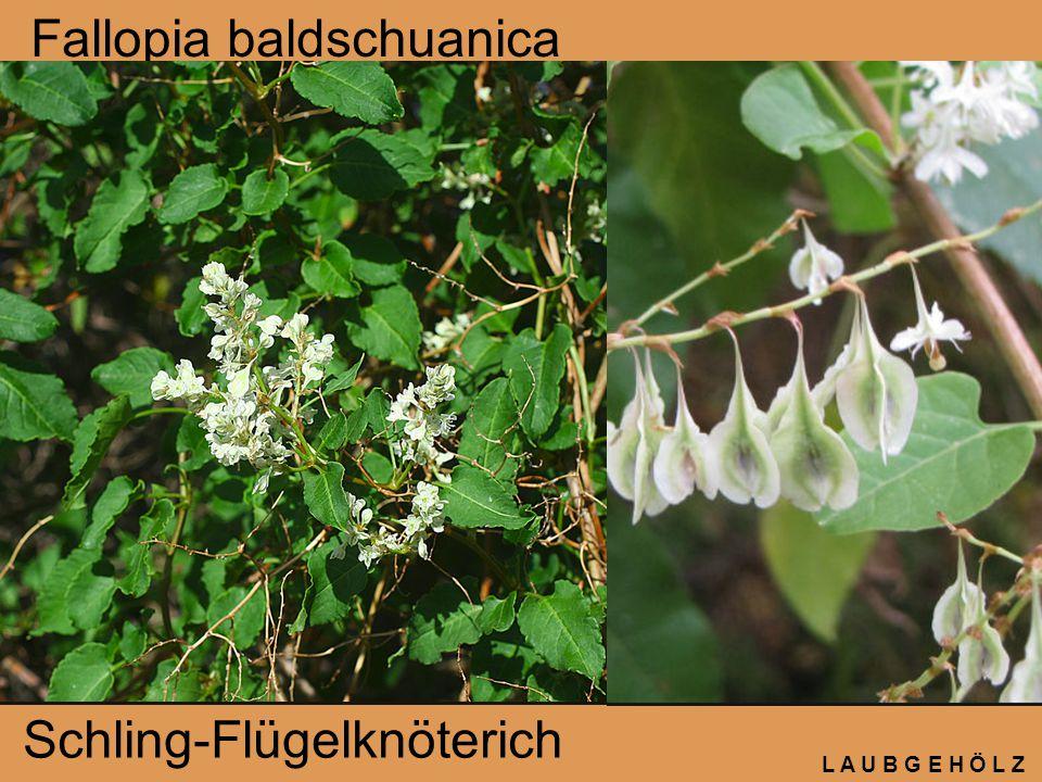 L A U B G E H Ö L Z Fallopia baldschuanica Schling-Flügelknöterich