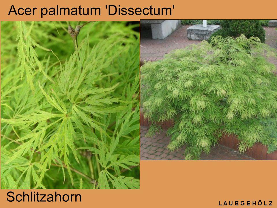 L A U B G E H Ö L Z Acer palmatum 'Dissectum' Schlitzahorn