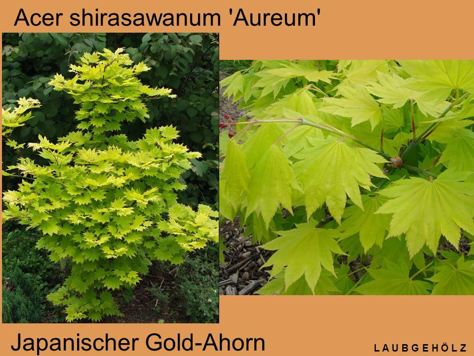 L A U B G E H Ö L Z Amelanchier rotundifolia Gewöhnliche Felsenbirne