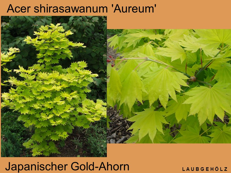 L A U B G E H Ö L Z Acer shirasawanum 'Aureum' Japanischer Gold-Ahorn