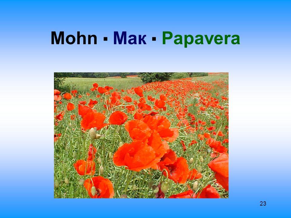 24 Allgemeine Information О́бщая информа́ция Мак самосейка ▪ Klatschmohn Der Mohn gehört zur Familie der Mohngewächse: Papaveraceae.