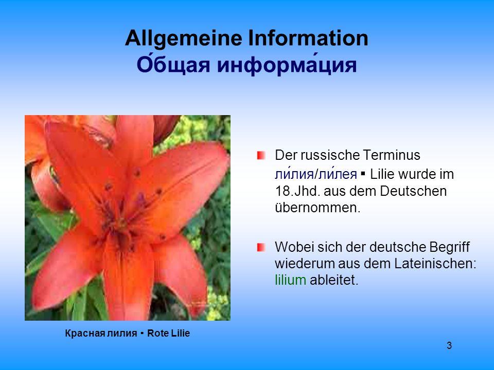 4 Allgemeine Information О́бщая информа́ция Лилия ▪ Lilie Die Lilie ist eine mehrjährig blühende Zwiebelpflanze, die zur Familie der Liliengewächse zählt: Liliaceae.