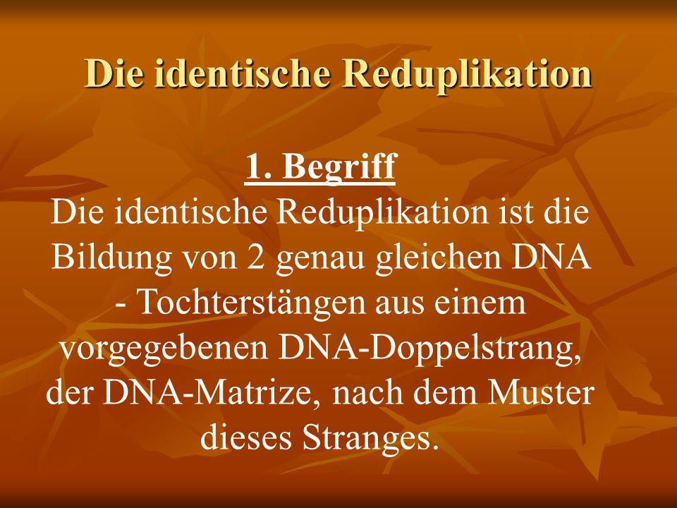 Die identische Reduplikation 1. Begriff Die identische Reduplikation ist die Bildung von 2 genau gleichen DNA - Tochterstängen aus einem vorgegebenen