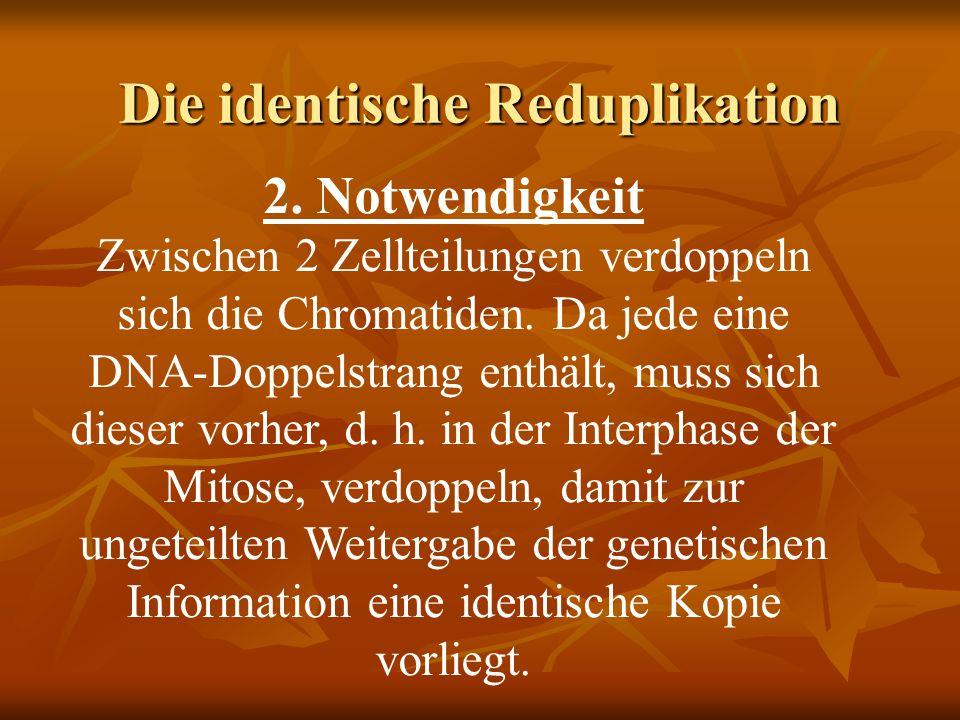 Die identische Reduplikation 2. Notwendigkeit Zwischen 2 Zellteilungen verdoppeln sich die Chromatiden. Da jede eine DNA-Doppelstrang enthält, muss si