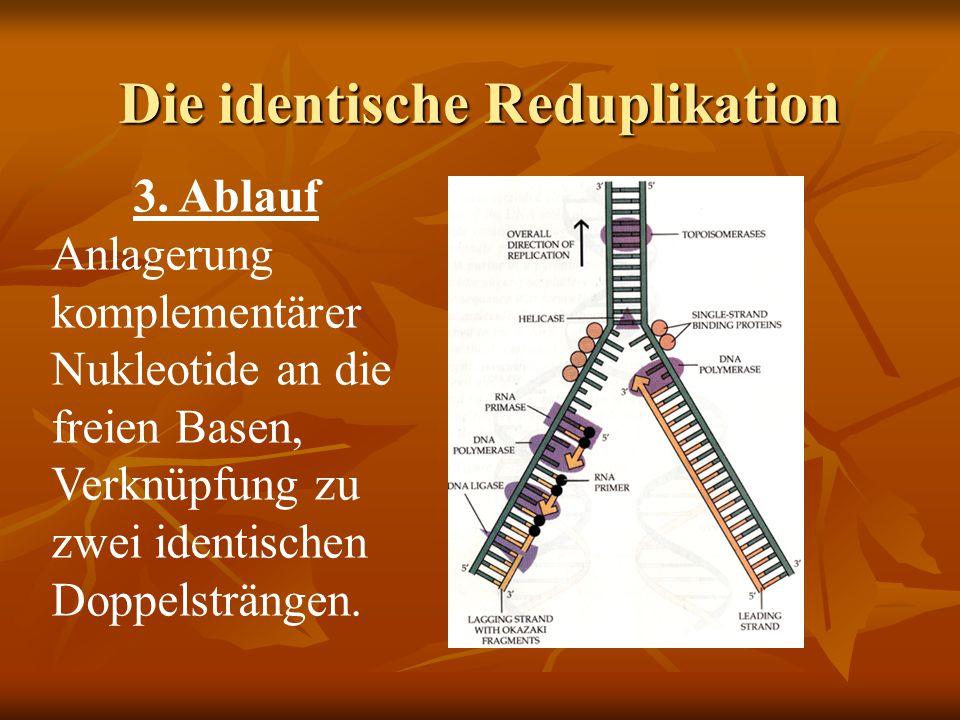 Die identische Reduplikation 3. Ablauf Anlagerung komplementärer Nukleotide an die freien Basen, Verknüpfung zu zwei identischen Doppelsträngen.
