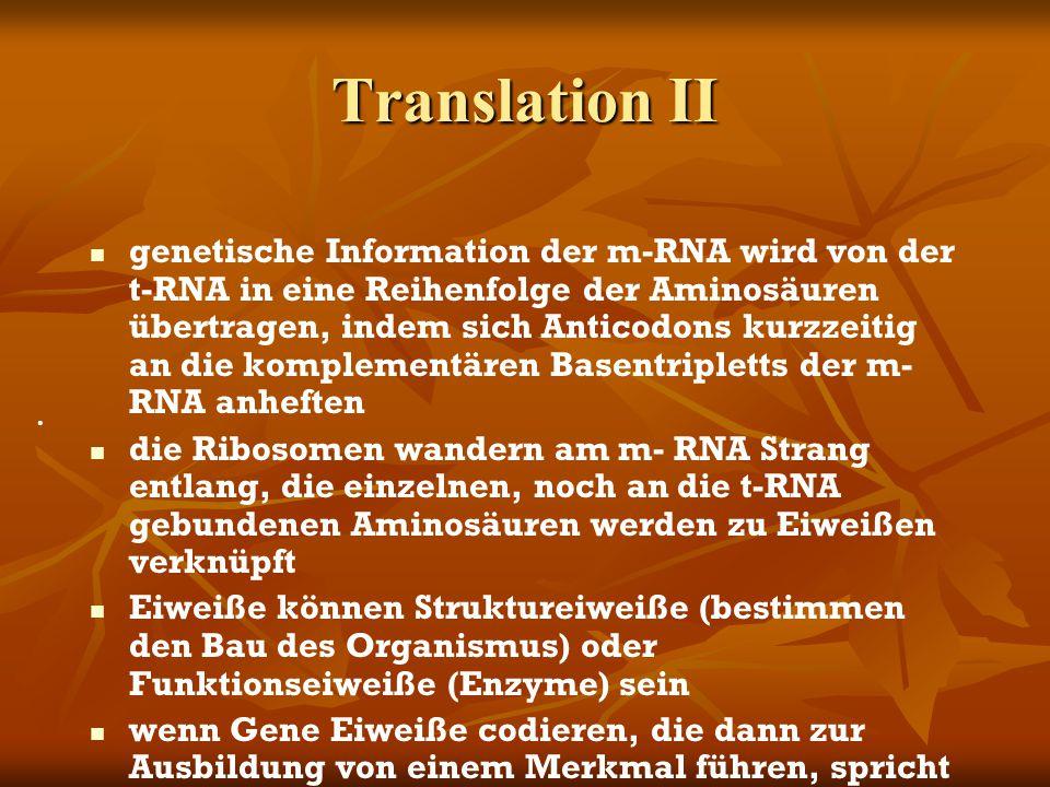 Translation II genetische Information der m-RNA wird von der t-RNA in eine Reihenfolge der Aminosäuren übertragen, indem sich Anticodons kurzzeitig an