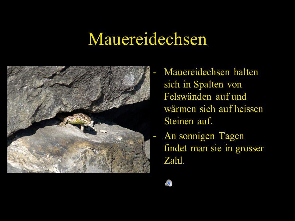 Mauereidechsen - Mauereidechsen halten sich in Spalten von Felswänden auf und wärmen sich auf heissen Steinen auf.