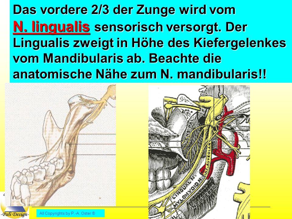 All Copyrights by P.-A.Oster ® Das vordere 2/3 der Zunge wird vom N.