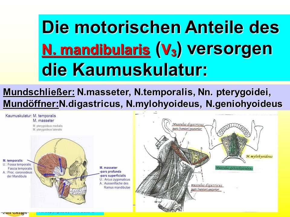 All Copyrights by P.-A.Oster ® Die motorischen Anteile des N.