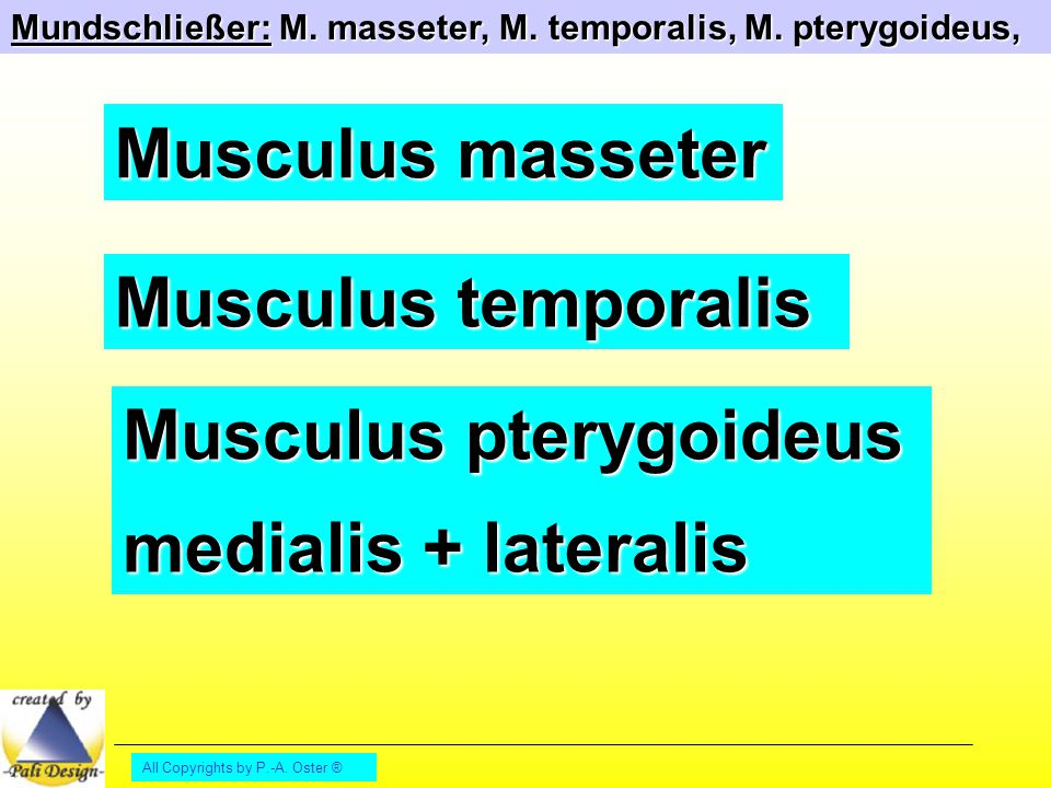 All Copyrights by P.-A. Oster ® Mundschließer: M. masseter, M. temporalis, M. pterygoideus, Musculus masseter Musculus temporalis Musculus pterygoideu