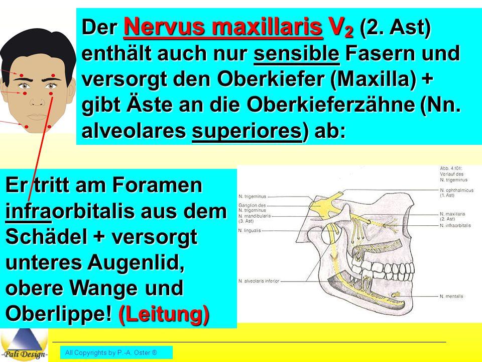 All Copyrights by P.-A.Oster ® Außer den Oberkieferzähnen werden auch der Gaumen (N.