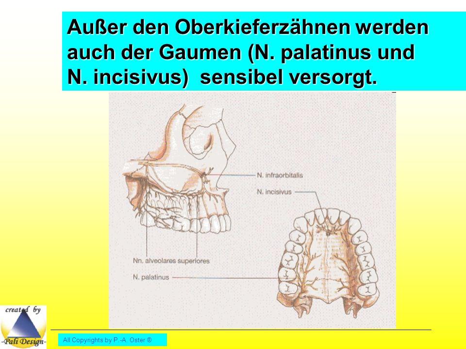 All Copyrights by P.-A.Oster ® Mundschließer: M. masseter, M.
