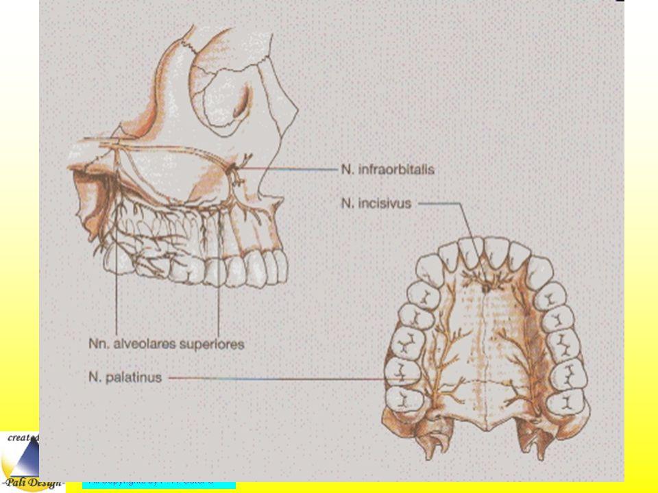 Der Nervus mandibularis V 3 (3.Ast) enthält sensible und motorische Fasern.