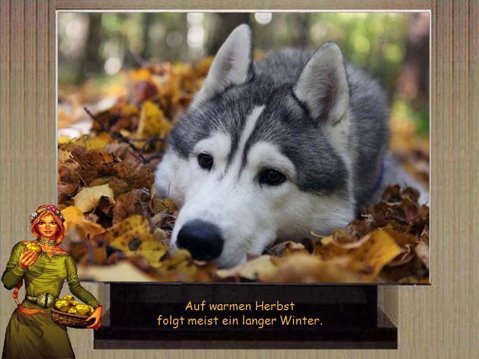 Will das Laub nicht gern von den Bäumen fallen, so wird ein kalter Winter erschallen.