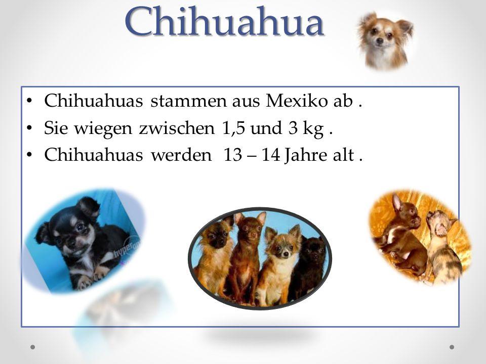 Chihuahua Chihuahuas stammen aus Mexiko ab.Sie wiegen zwischen 1,5 und 3 kg.