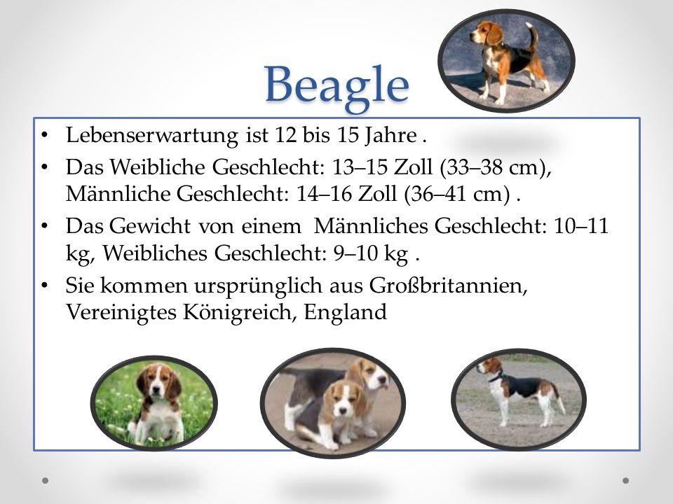 Beagle Lebenserwartung ist 12 bis 15 Jahre.