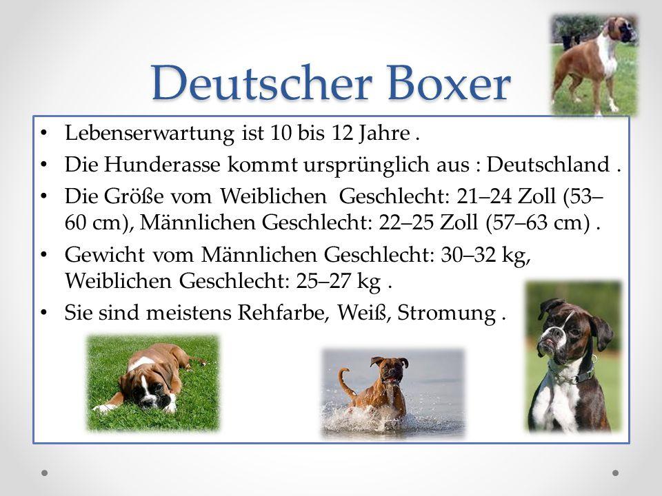 Deutscher Boxer Lebenserwartung ist 10 bis 12 Jahre.